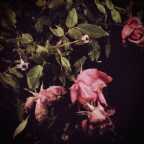 My Mother's Roses by Leslie King, AAUW Wytheville (VA) Branch